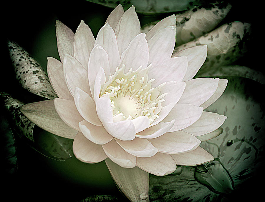 Water Lily in White 2 by Julie Palencia