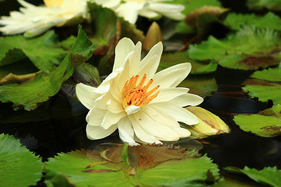 Water Lily by Kevin Wheeler