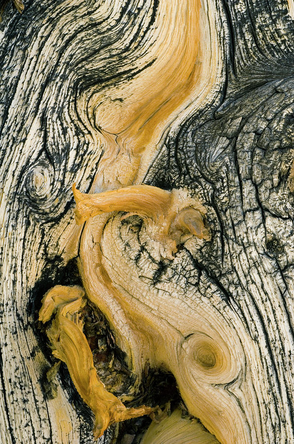 Weathered Wood Of Ancient Bristlecone Photograph by Kevin Schafer