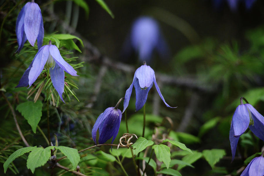 Wildflower Photograph - Western Blue Virgins Bower by Whispering Peaks Photography