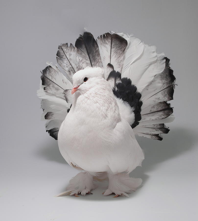White and Black Indian Fantail Pigeon by Nathan Abbott