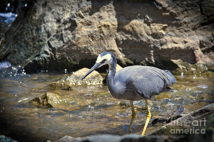 White faced heron by Graham Buffinton