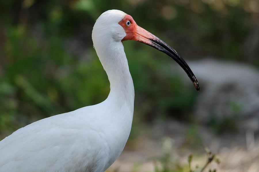 White Ibis Photograph