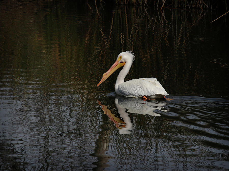 White Pelican by Diana Haronis