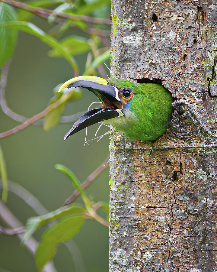 White Throated Toucanet Las Hermosas Chaparral Tolima Colombia by Adam Rainoff