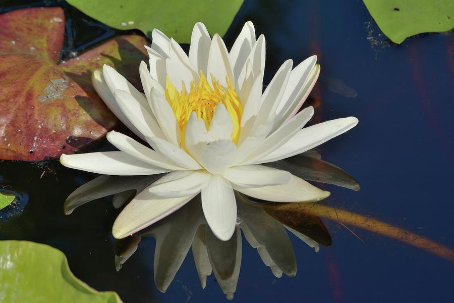 White Water Lily by Bradford Martin