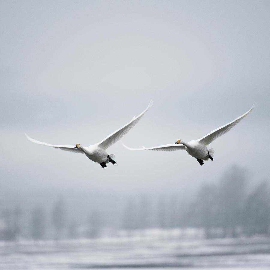 Whooper Swan Cygnus Cygnus Photograph by Roine Magnusson