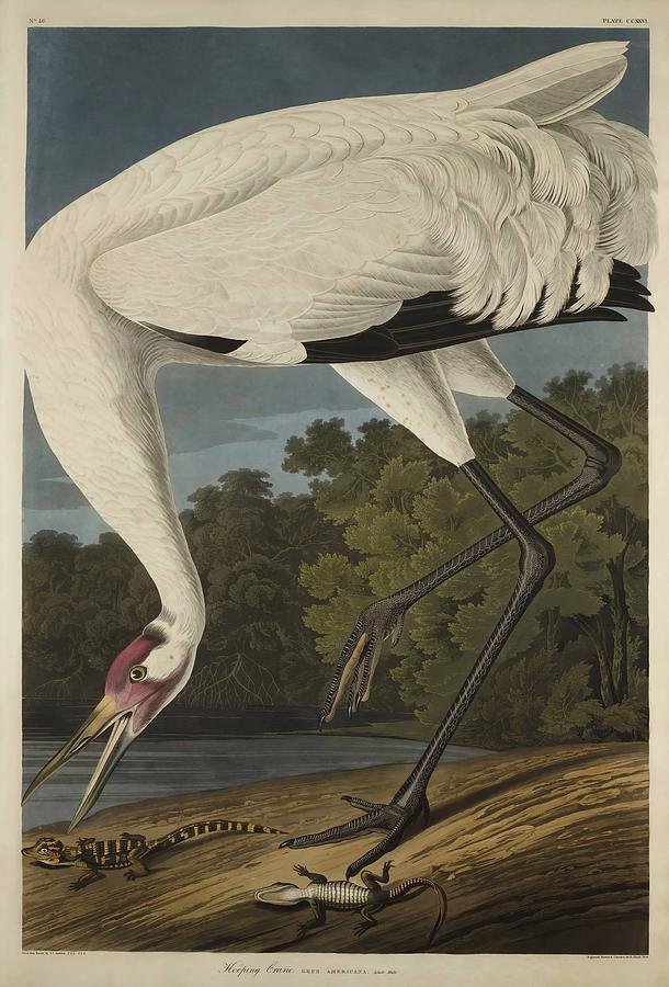 John James Audubon Painting - Whooping Crane  From The Birds Of America  by John James Audubon