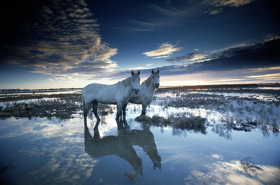 Wild Horses Equus Caballus, France Photograph by Art Wolfe
