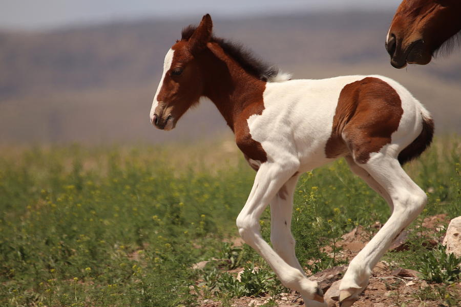 Wild Mustang Foal by Paul Comish