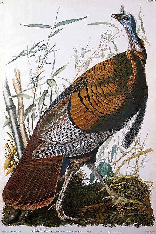 John James Audubon Painting - Wild Turkey  Male  by John James Audubon