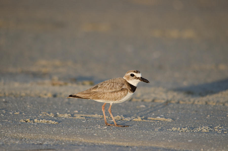 Wilsons Plover Photograph