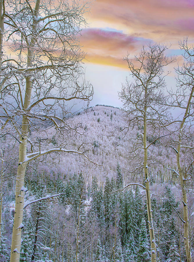 Winter Quaking Aspen, Aspen Vista by Tim Fitzharris