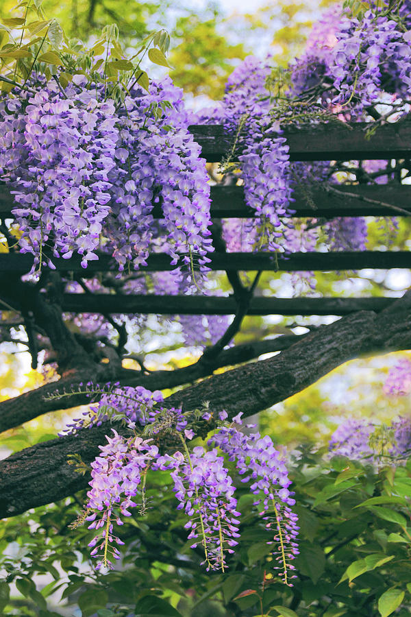 Wisteria Photograph - Wisteria In Bloom by Jessica Jenney
