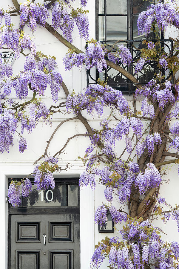 Chinese Wisteria Photograph - Wisteria In Canning Place Kensington London England by Tim Gainey
