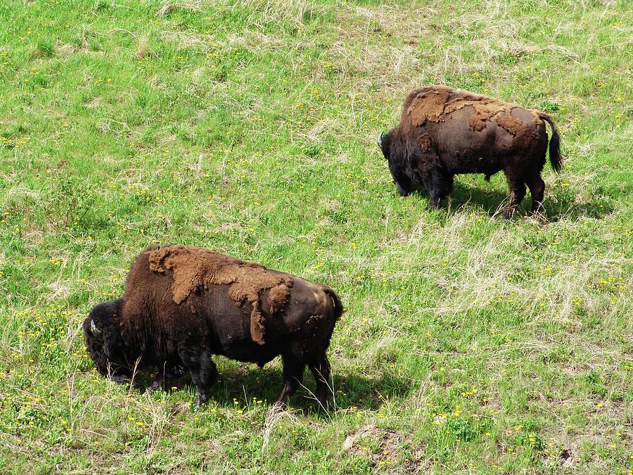 Wood Bison Alaska Highway by Robert Braley