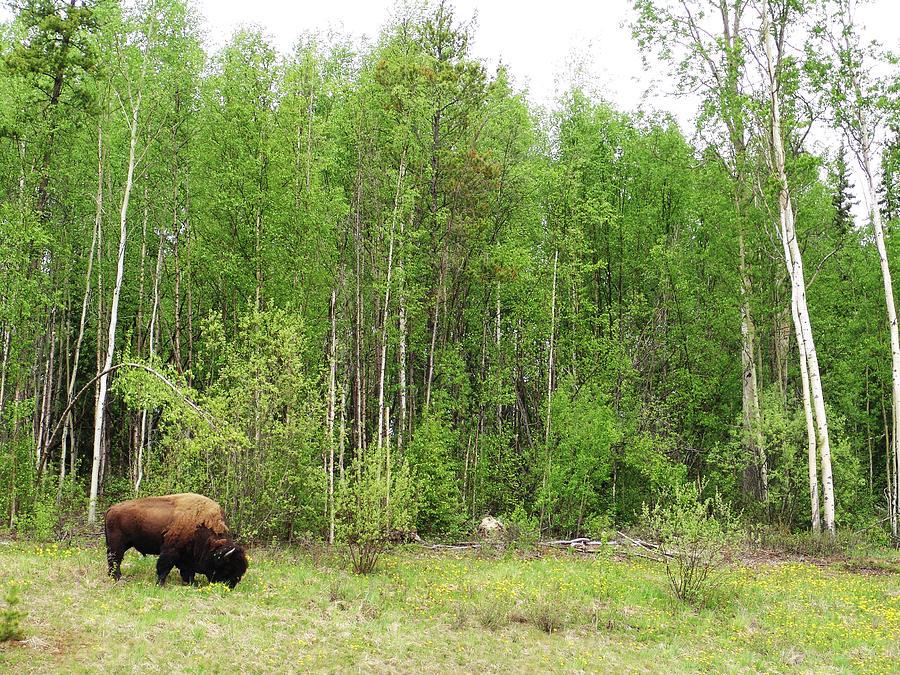 Wood Bison Alaska Highway Yukon Canada by Robert Braley