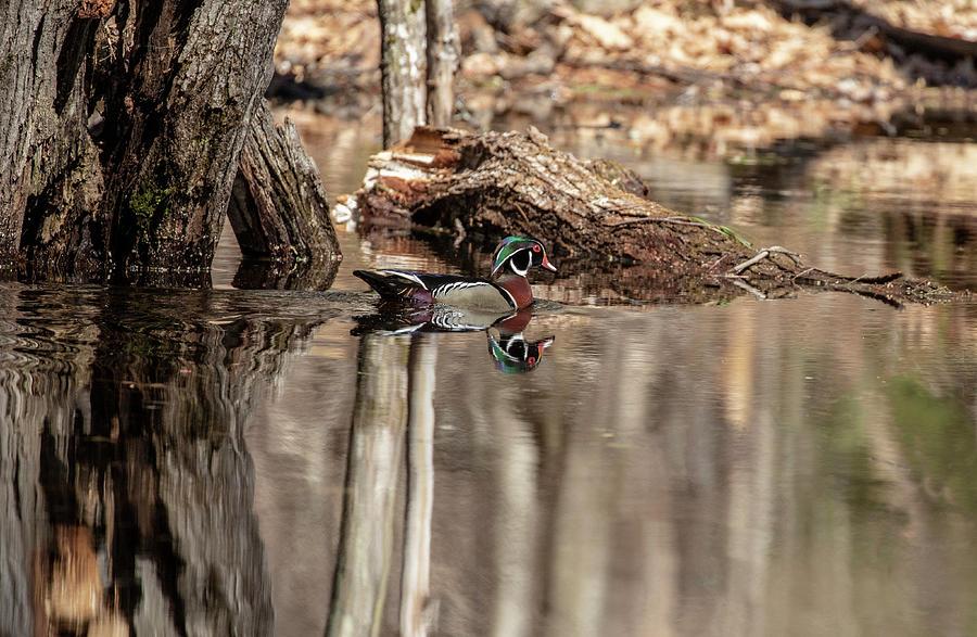 Wood Duck by Betty Pauwels