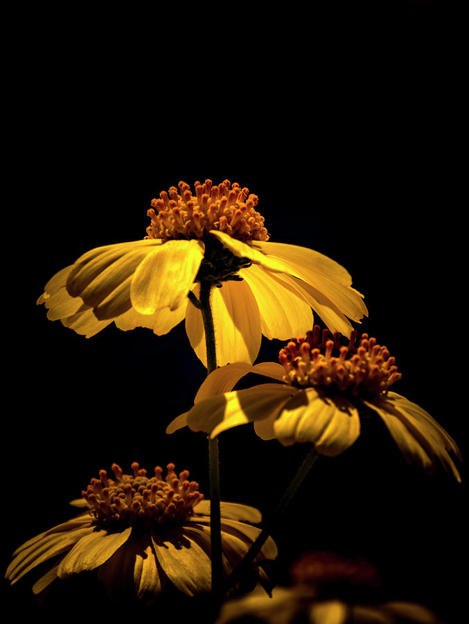 Yellow Flowers On Black Background Photograph By Chic Gallery Prints From Karen Szatkowski
