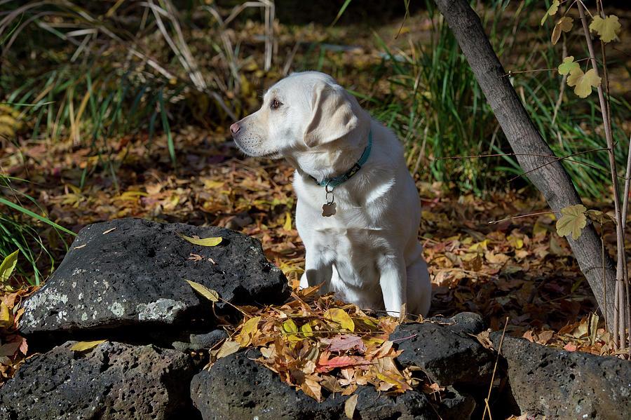 Animal Photograph - Yellow Labrador Retriever by William Mullins