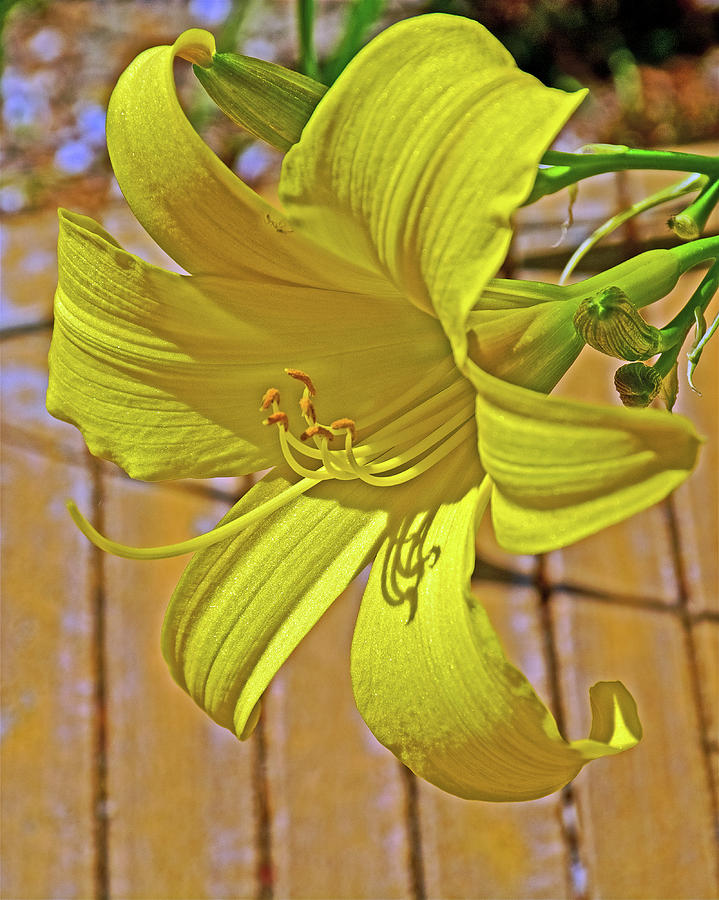 Yellow Lily at Saint Lukes Lutheran Church in Claremont, California  by Ruth Hager