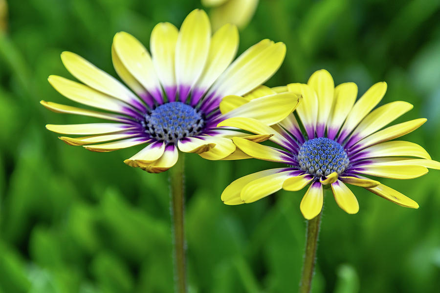 Yellow Oesteospermum Daisy Flowers with Purple Outer and Blue Ce by Merrillie Redden