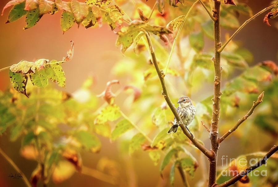 Yellow-rumped Warbler Photograph by Heather Hubbard
