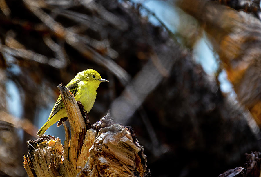 Yellow Warbler by Michael Chatt