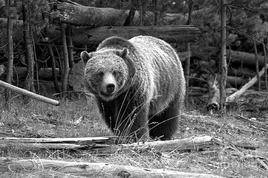 Yellowstone Grizzly Among The Logs Black And White by Adam Jewell