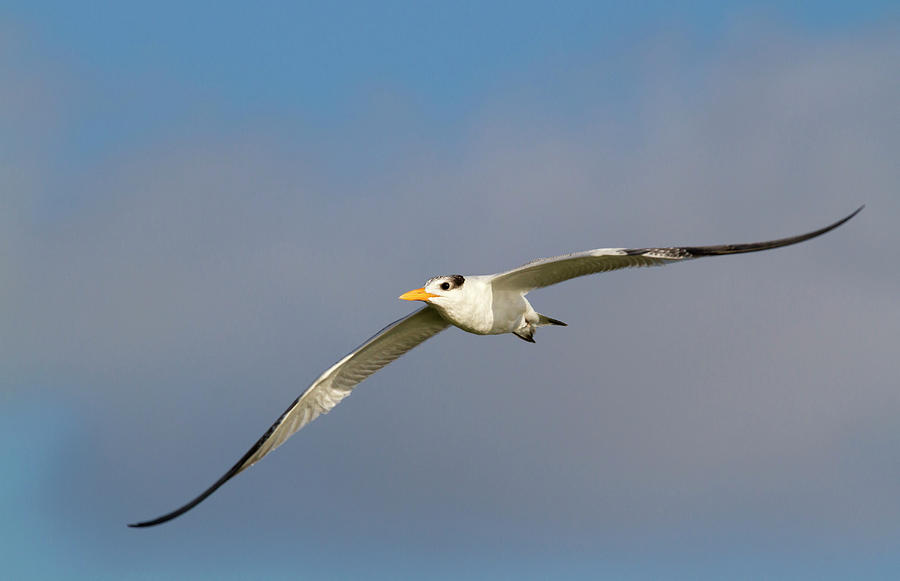 Young Royal Tern Flying by Ivan Kuzmin