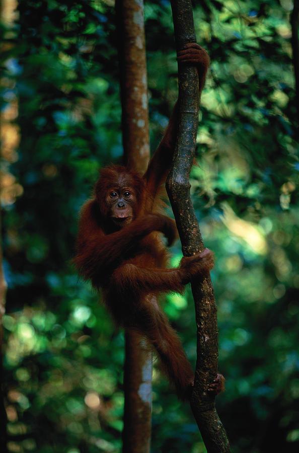 Young Sumatran Orangutan Pongo Pongo Photograph by Art Wolfe