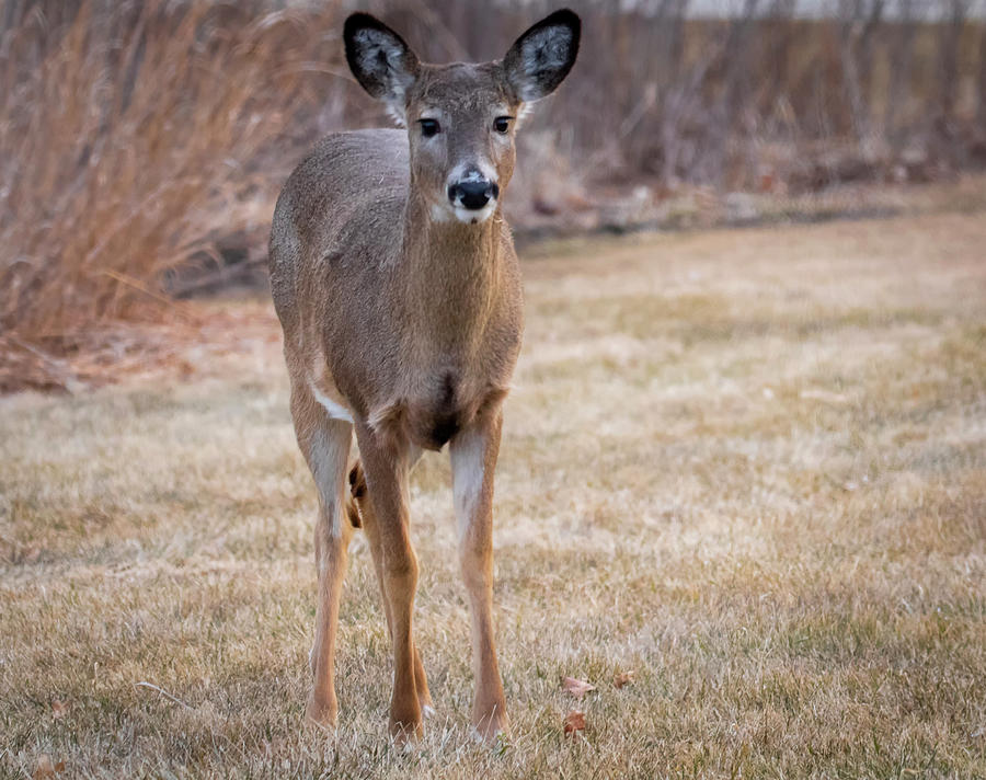 Young White-tailed Deer by Ricky L Jones