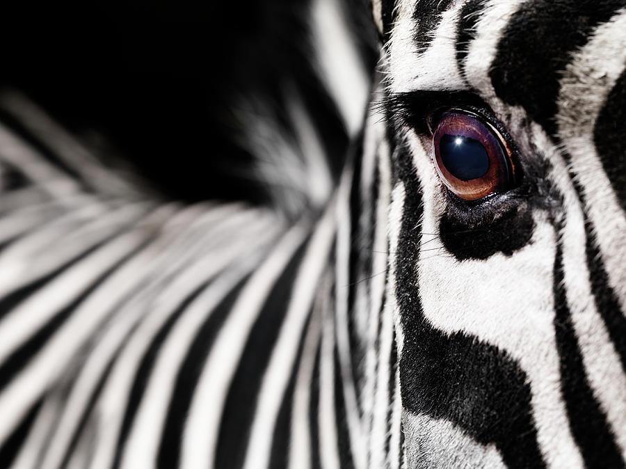 Zebra´s Eye Photograph by Henrik Sorensen