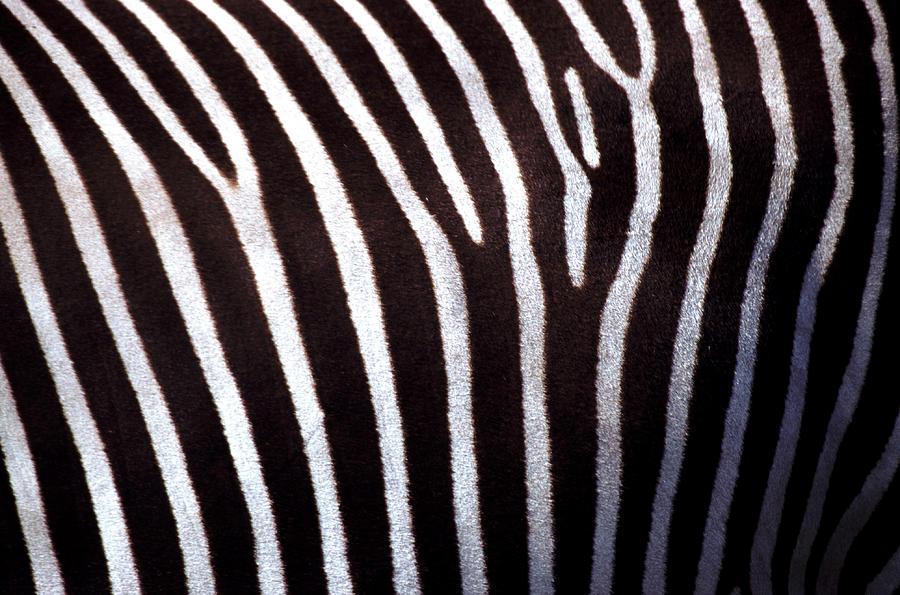 Zebras Hide Photograph by John Foxx
