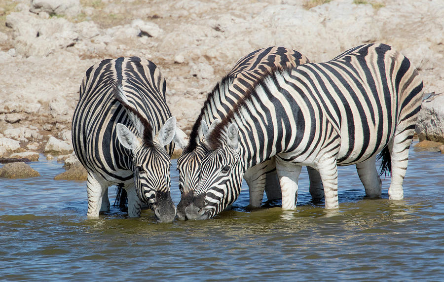 Africa Photograph - Zebras Lined Up Drinking At Waterhole by Darrell Gulin
