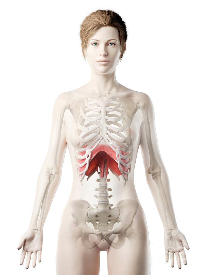 3d Photograph - Diaphragm 10 by Sebastian Kaulitzki/science Photo Library
