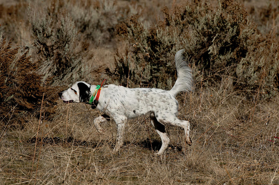 English Setter On Point by William Mullins