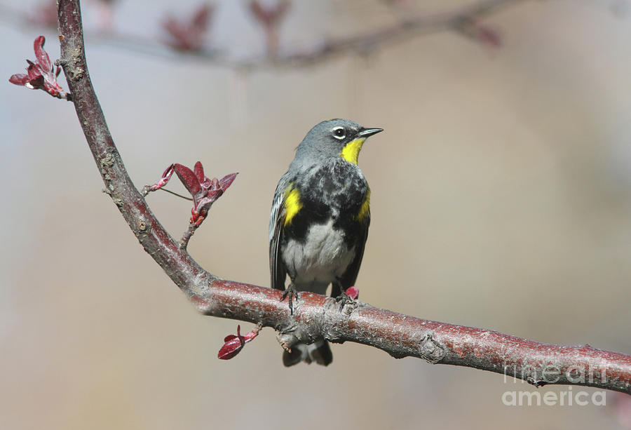 Yellow-rumped Warbler Photograph - Yellow-Rumped Warbler by Gary Wing