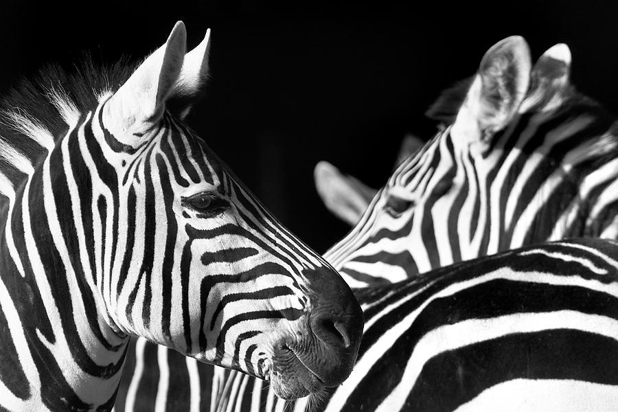 10019 Zebras Photograph