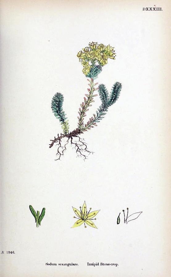 English Botany Painting