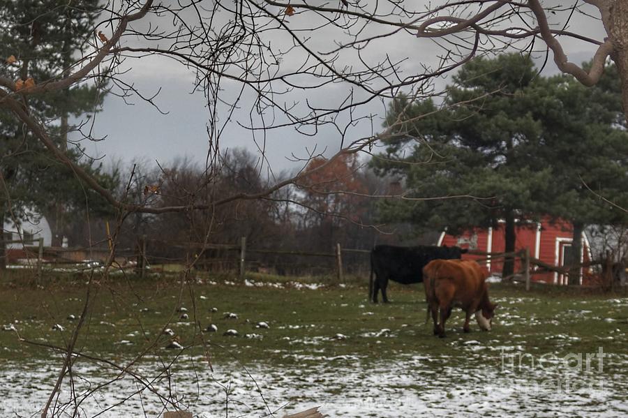 1026 - Nobel Road Cows by Sheryl L Sutter