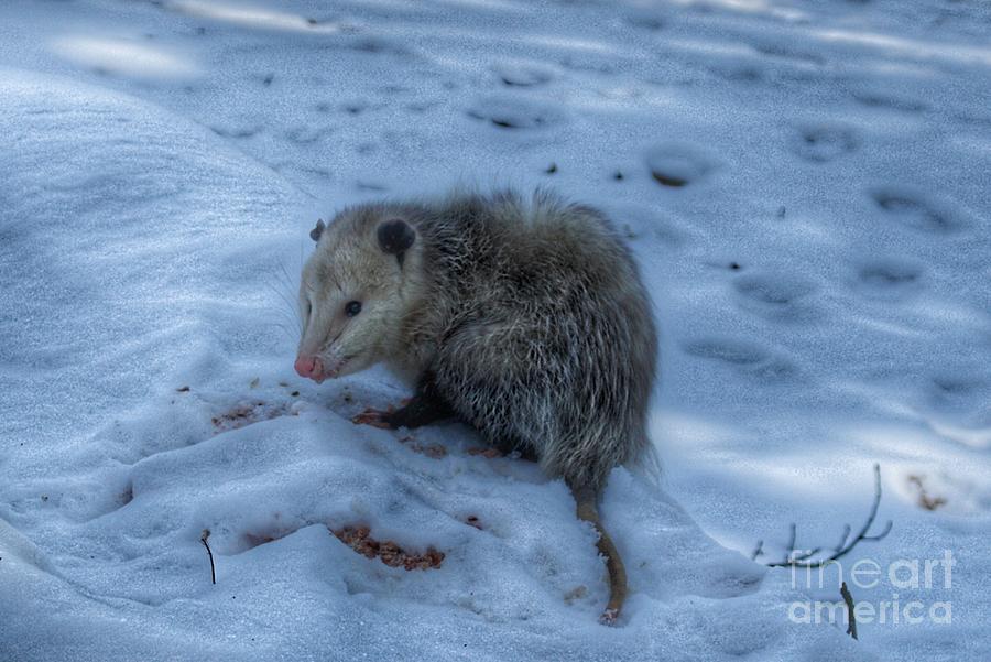 1027 - Sutton Road Possum by Sheryl L Sutter