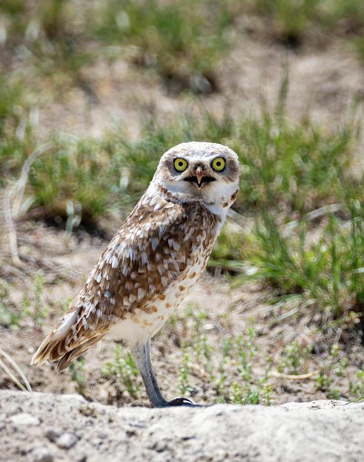 Burrowing Owl by Michael Chatt