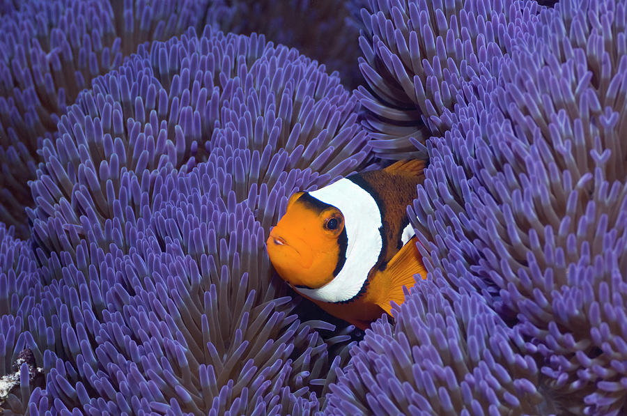 Clown Anemonefish Photograph by Georgette Douwma
