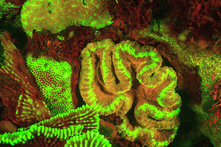 Acropora Photograph - Natural Occurring Fluorescence by Stuart Westmorland