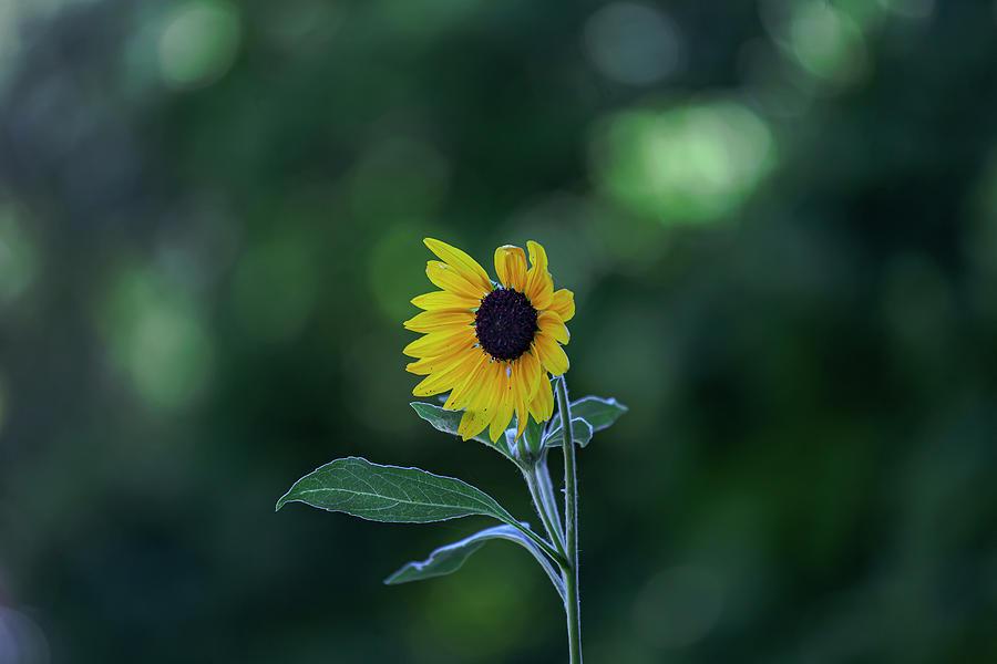 Sunflower by Robert Ullmann