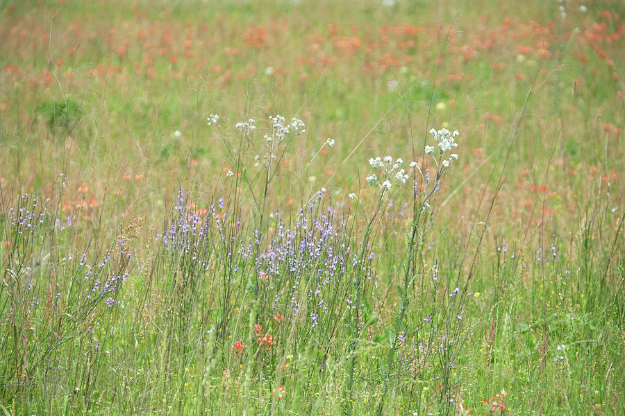 11075 Texas Wildflowers by Pamela Williams