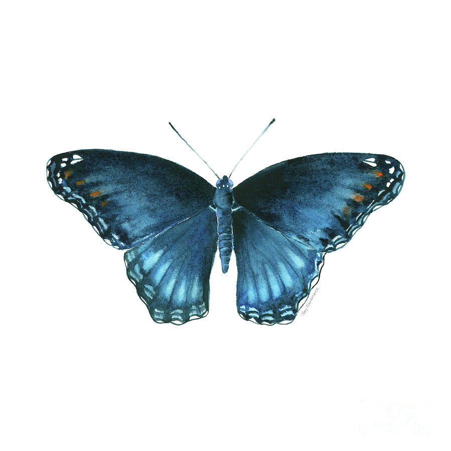 113 Brenton Blue Butterfly by Amy Kirkpatrick