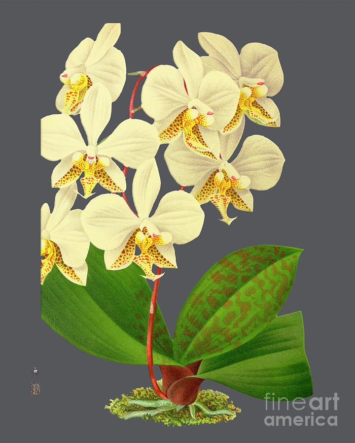 Vintage Mixed Media - Orchid Old Print by Baptiste Posters