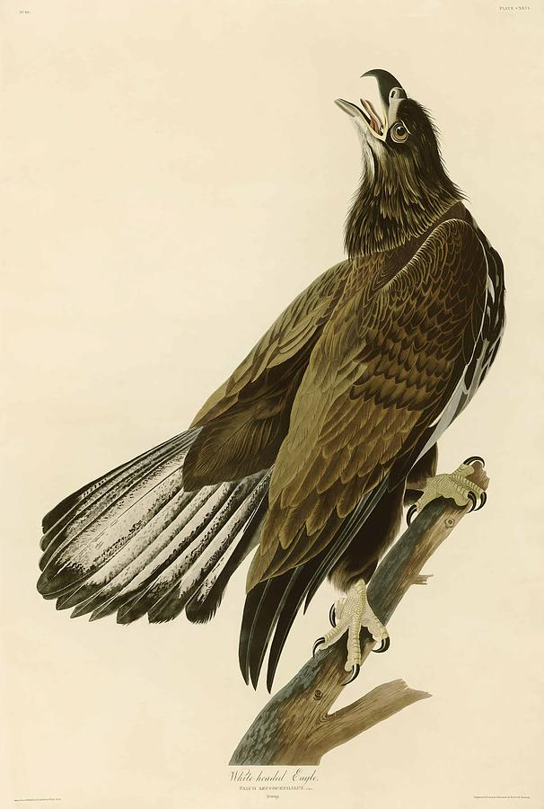 John James Audubon Painting - White Headed Eagle  by John James Audubon